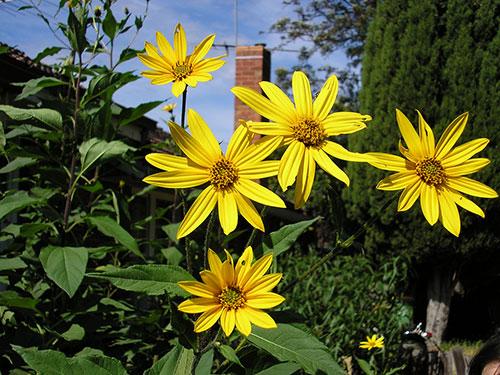 Flores de tupinambo ou girassol batateiro