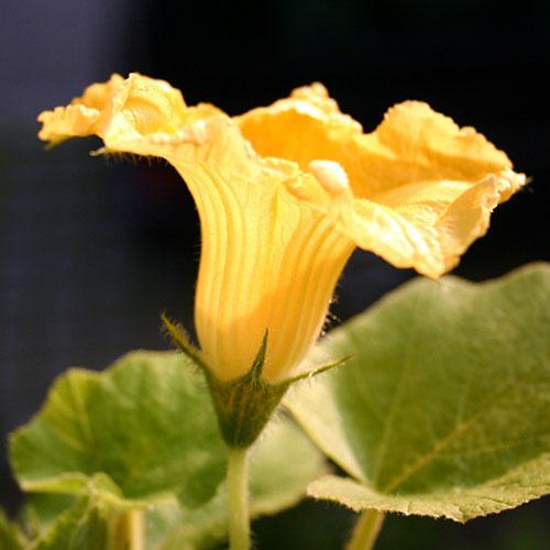Flor masculina da abóbora