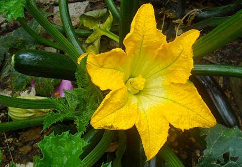 Flor feminina da abobrinha
