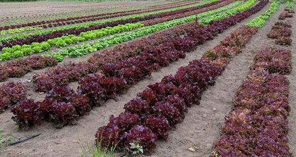 Cultivares de alface de cor verde e vermelha