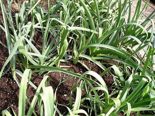 Plantação de alho-poró ou alho-porro
