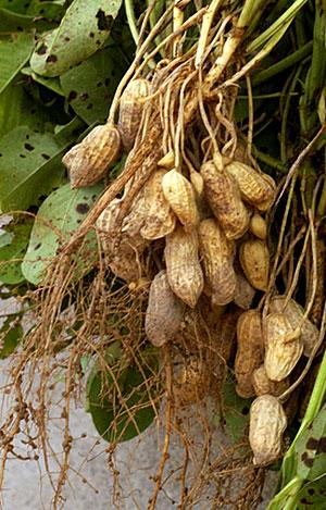 Colheita de amendoins