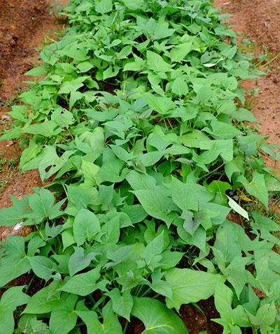 Plantação de batata-doce