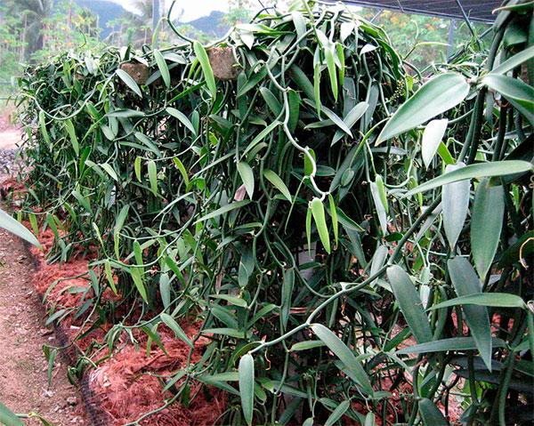 Plantação de baunilha