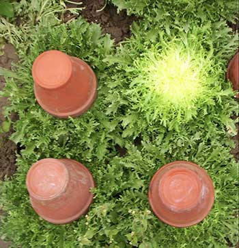 Branqueamento das folhas de chicória usando vasos para cobrir as plantas