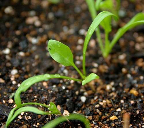 Como plantar espinafre   Hortas.info