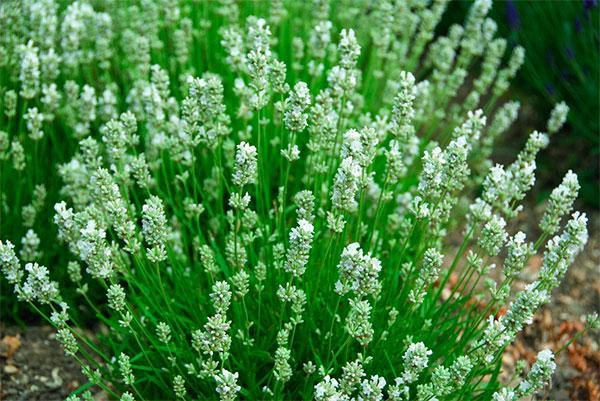 Lavanda com flores brancas