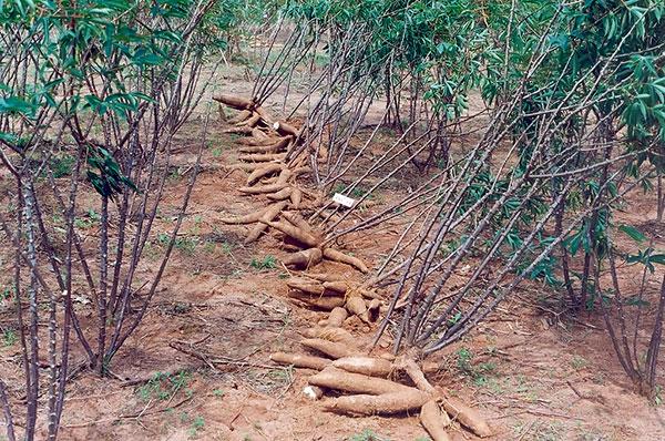 Resultado de imagem para plantação aipim abobora