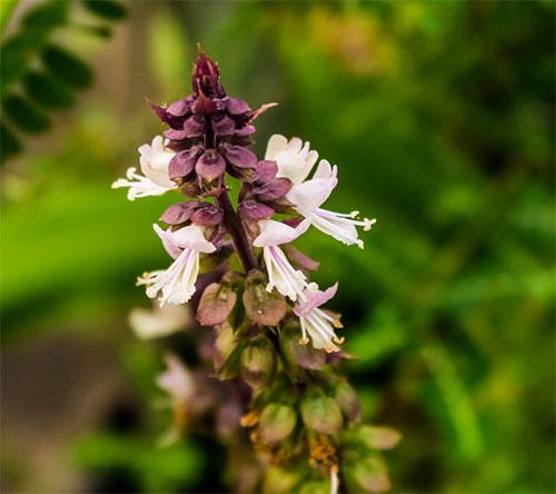 Flores de manjericão-sagrado, manjericão-santo, tulsi ou tulasi