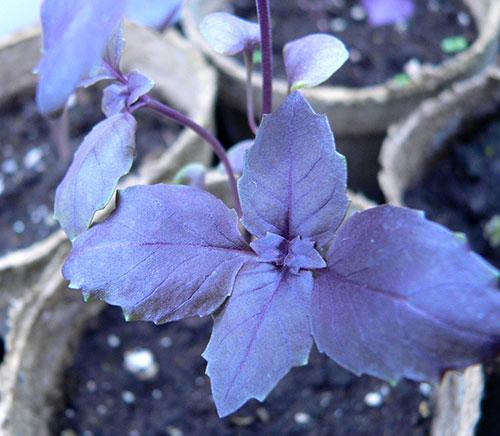 Como plantar manjericão | Hortas.info