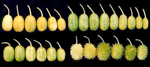 Cultivares de maxixe