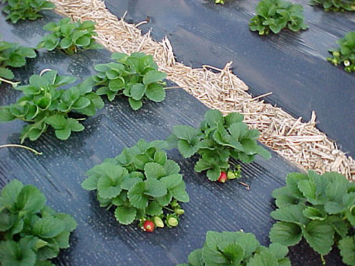 Plantação de morangos com cobertura de plástico preto no solo