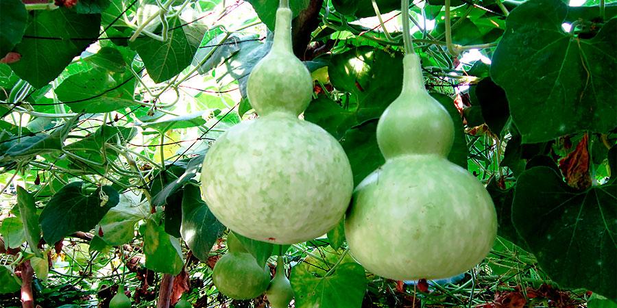 Como Plantar Porongo Ou Caba 231 A Hortas Info