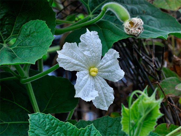 Flor de porongo ou cabaça