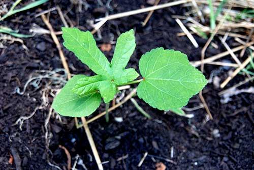 Como Plantar Quiabo Hortas Info