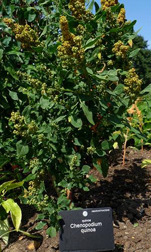 Planta de quinoa