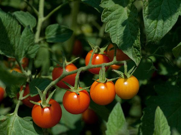 Quando os tomates amadurecem