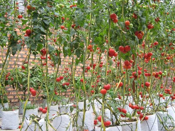 Muito Como plantar tomate | Hortas.info QP75