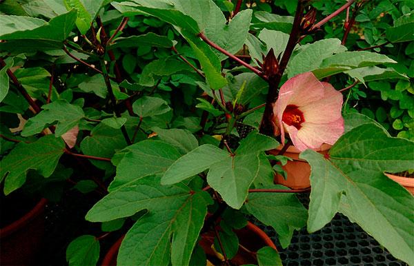 Vinagreira com flor aberta
